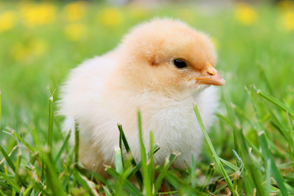 chicks-spring-chicken-plumage-55834