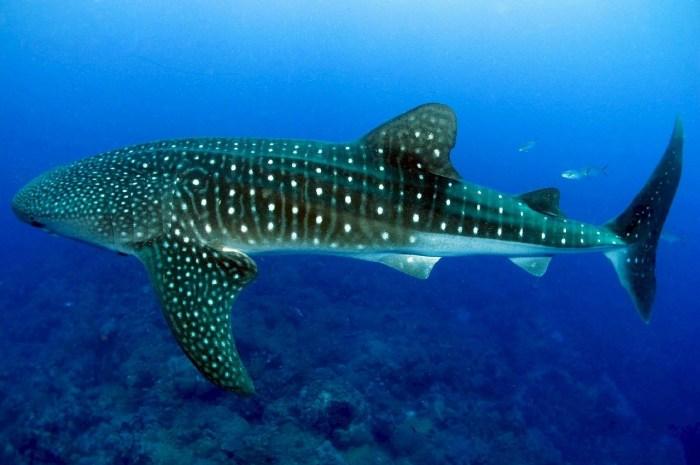 whale-shark-936691_1280.jpg