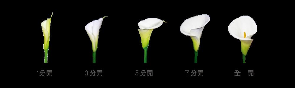 callalily-flora